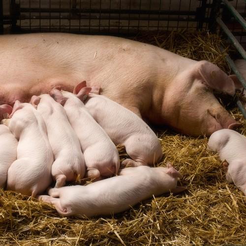 БМВД 20% для Лактирующих свиноматок