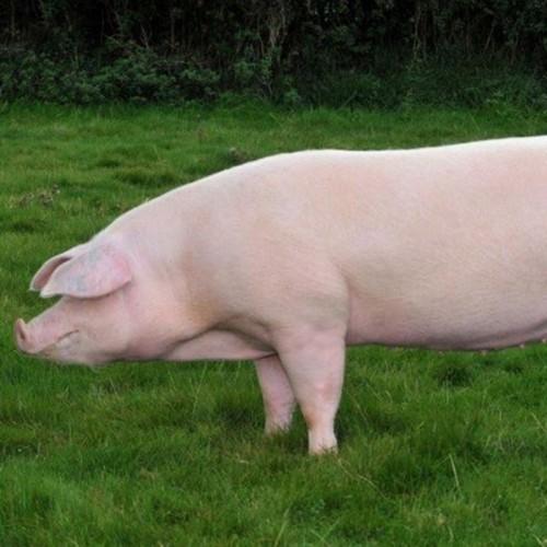 БМВД 12% ФИНИШ для свиней от 50 до 105 кг