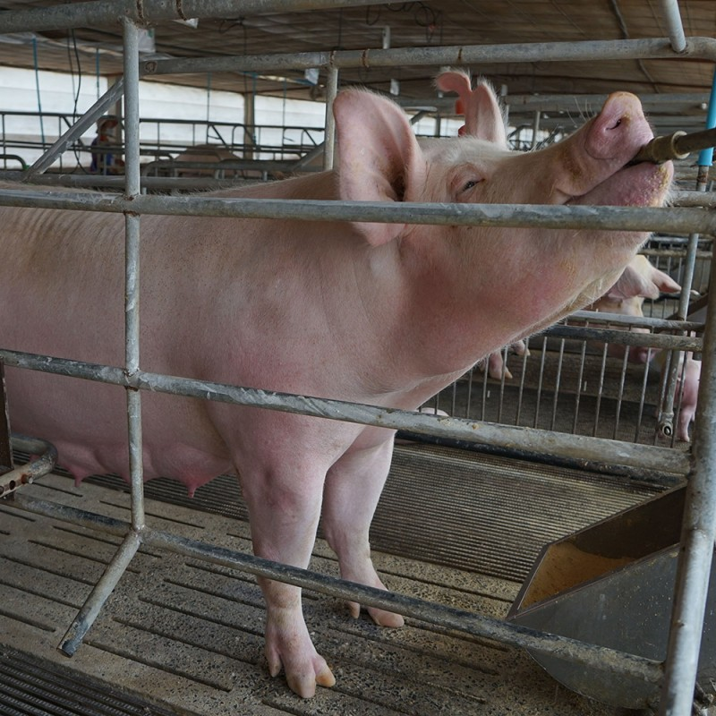 БМВД 12% для Супоросных свиноматок