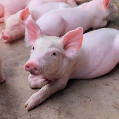 БМВД 25% СТАРТ для свиней от 12 до 30 кг