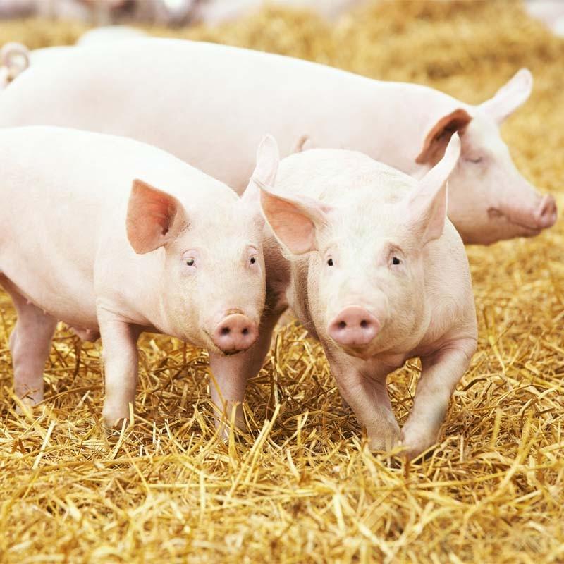 БМВД 6% для свиней