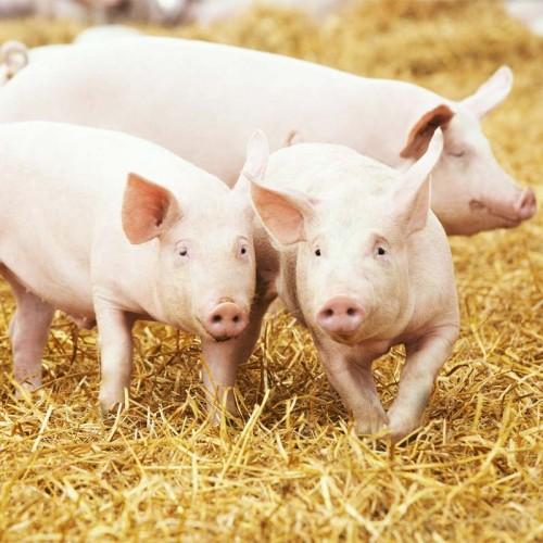 Премиксы 3% для свиней
