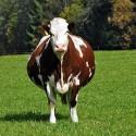 Сухостойные коровы